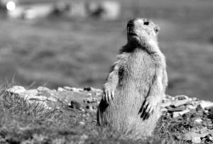 写动物叫声的词语_土拨鼠的叫声不一般   美国亚利桑那大学的一位动物学家对动物的