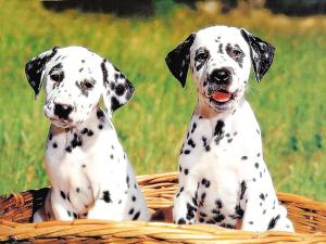 最听话的狗_世界十大最听话的狗狗排名 什么狗最好养又听话