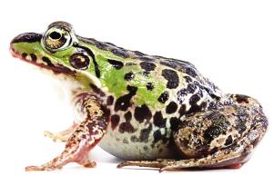 美国人 吃青蛙_美国人 吃青蛙_青蛙吃星星