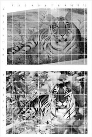 下半部分为周正龙拍的老虎照片