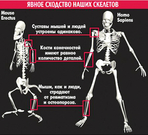 老鼠的骨架(左)与人类的骨架(右)