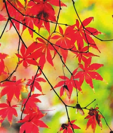 共青森林公园里,枫叶在阳光下透露出工笔画一样的静美 杨建正 摄