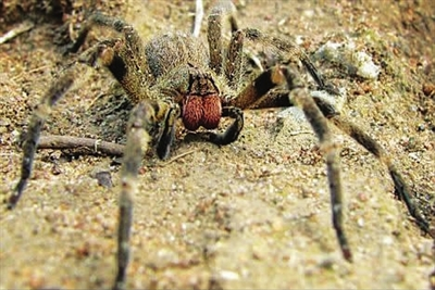 把世界上最致命蜘蛛的毒液作为壮阳药