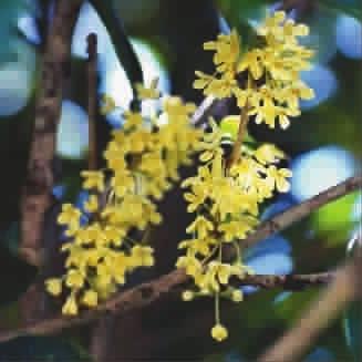 """山云漠漠桂花湿"""",形象地说明了桂花开花要求有一段白天晴朗,夜晚冷凉"""