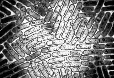 细菌的培养方法