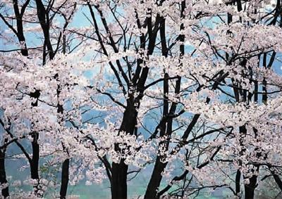 小学生手绘樱花节主题的画大全