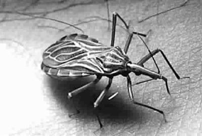 锥蝽寄生在人体皮肤上