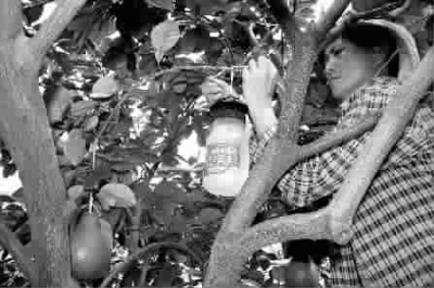 王慧香在柚子树上安装飞虫诱捕器